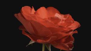Carol Klein's Plant Odysseys – Roses episode 1