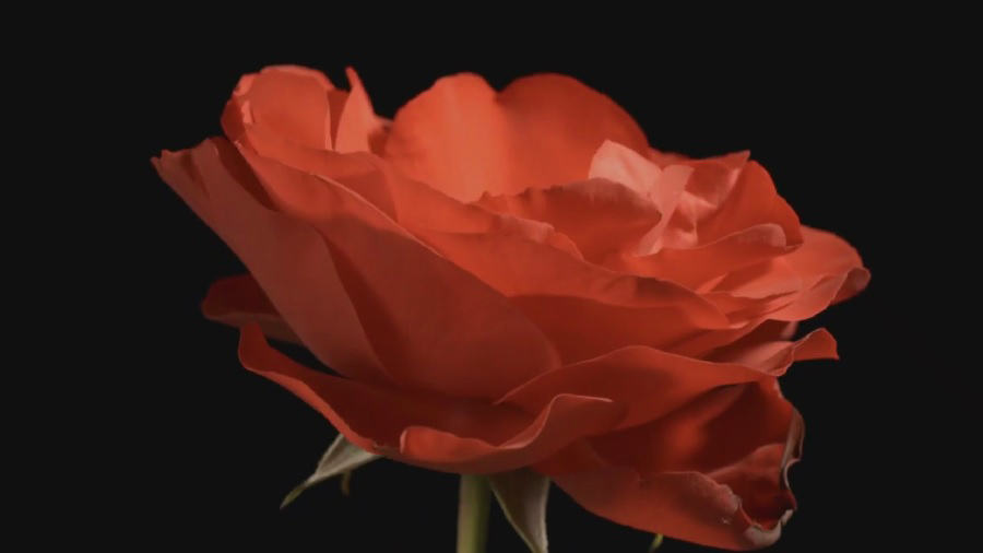 Read more about the article Carol Klein's Plant Odysseys – Roses episode 1
