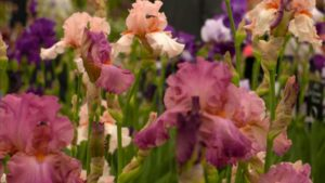Read more about the article Chelsea Flower Show episode 13 2018