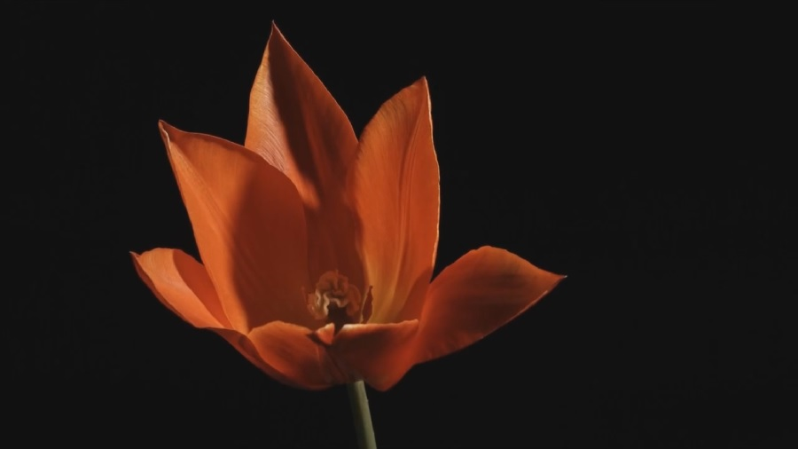 You are currently viewing Carol Klein's Plant Odysseys – Tulips episode 2