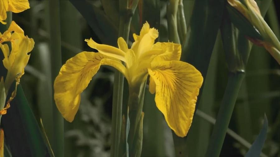 Carol Klein's Plant Odysseys – Iris episode 3
