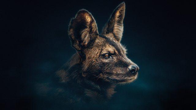 Dynasties episode 4 – Painted Wolf – David Attenborough