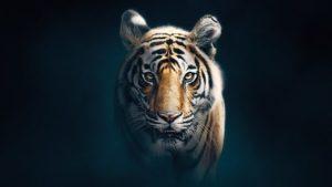 Dynasties episode 5 – Tiger – David Attenborough