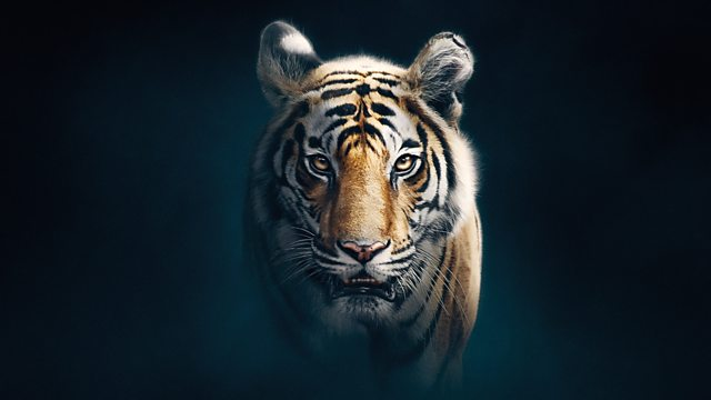 Read more about the article Dynasties episode 5 – Tiger – David Attenborough
