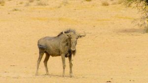Great Parks of Africa episode 5 – Kgalagadi Transfrontier Park