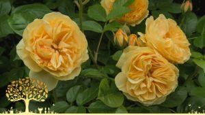 Gardeners World episode 24 2020 - Roses
